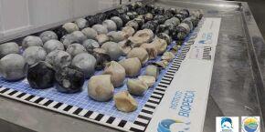 Biopesca diz que os 103 ovos de tartaruga encontrados em praia de Itanhaém estavam em decomposição