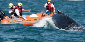 Baleia Jubarte emalhada em rede de pesca é resgatada com sucesso