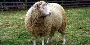 Mais famoso clone da história, Dolly completaria hoje 25 anos