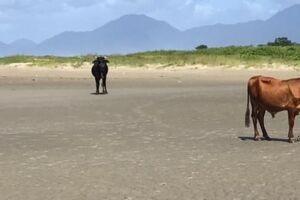 Animais circulam calmamente por praia em Itanhaém.