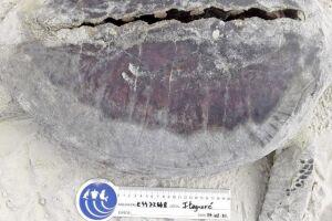 Tartarugas estão entre principais vítimas de colisões com embarcações em todo o litoral paulista