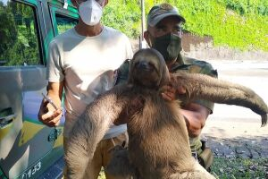 Só este ano o Grupamento de Defesa Ambiental resgatou 11 bichos-preguiça