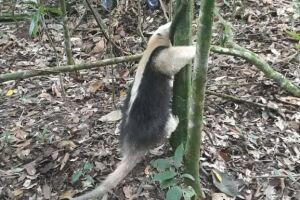 O tamanduá-mirim, também chamado de tamanduá-colete, foi encontrado em um quarto, nos fundos de uma residência, na Rua Mecanizada, no bairro Samaritá.