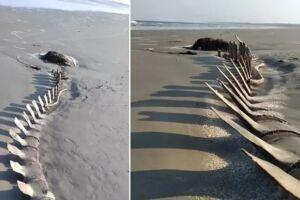 A carcaça, exposta pela ação das marés, foi avistada por pescadores, na praia da Barra do Una