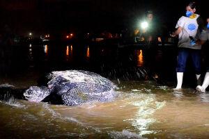 As desovas da tartaruga-de-couro (Dermochelys coriacea) em praias de Itanhaém (SP), bem como a biologia dessa espécie estão entre as informações da palestra