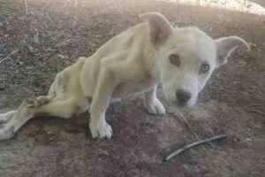 A cadela, apelidada por eles de Halo, foi encontrada pelo veterinário. Sua pata estava muito inflamada, o que lhe causavamuita dor, e ela estava magra e quase desnutrida.