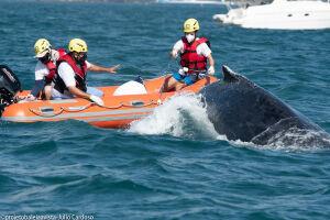 Instituto Argonauta resgatou com sucesso Baleia Jubarte emalhada em rede de pesca