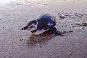 Pinguim foi resgatado em Mongaguá