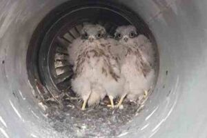 A mãe de dois bebês falcões achou um local pra lá de inusitado para deixar seus filhotes em segurança: dentro de um dos motores de um jato Airbus A320.