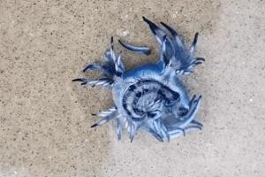 O dragão azul solta toxinas e pode causar queimaduras e danos no corpo também dos humanos