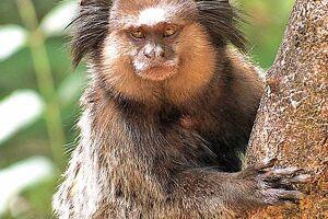 O primeiro passo que você deve tomar caso queira ter um macaco de estimação é procurar um estabelecimento regularizado