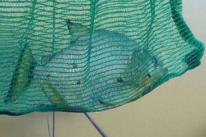 Presença desses animais na Lagoa se deve, provavelmente, ao descarte indevido por parte de alguém
