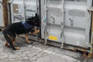 Cão farejador auxiliou agentes a encontrarem 935 quilos da droga ontem