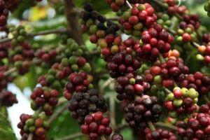 Café colhido na Bahia é eleito o melhor do Brasil, segundo ABIC