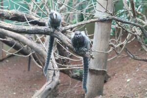 De acordo com a secretaria de Saúde de São Paulo, de julho de 2016 e dezembro de 2017 ocorreram 595 mortes de macacos por febre amarela