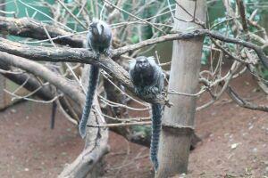 Macacos não transmitem a febre amarela, mas parece que população ainda não compreendeu isso.
