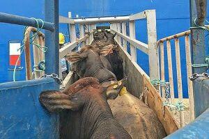 Apesar de ainda não haver confirmação, é provável que o odor seja do descarte irregular de dejetos dos animais transportados vivos pelo Porto