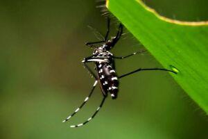 Mosquito oropouche.