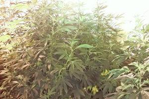 A maconha era cultivada com uso de aparelhos de ar-condicionado, verificadores de ph e luzes especiais