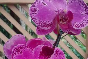 As orquídeas do mês são a Zigopetalum e a Zigocalis