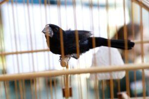 Na lista das espécies ameaçadas, o pássaro bicudo foi encontrado em gaiola durante Operação Cipó