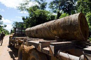 As fraudes facilitariam a derrubada excessiva de árvores de madeira valorizada que são especialmente vulneráveis à exploração predatória, como os ipês