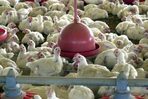 Suspensão de 16 plantas de produção reduziu as exportações de frangos