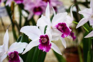 Orquidário de Santos recebe Feira de Orquídeas