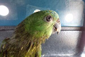 O primeiro resgate foi de um papagaio-verdadeiro, que estava no mar