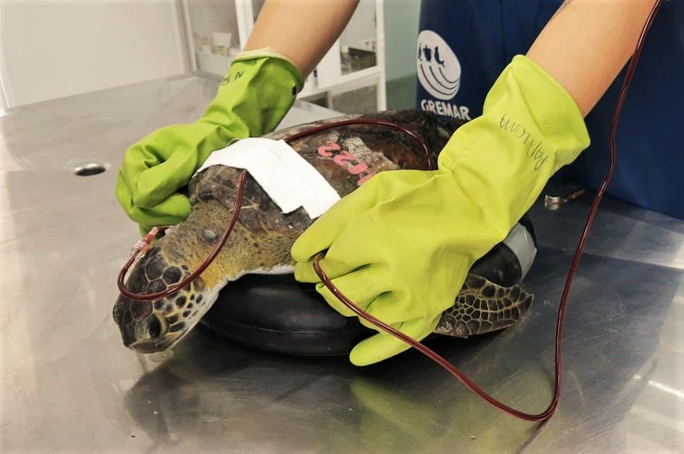 Após doar sangue para 'colega' da mesma espécie, tartaruga é solta no mar