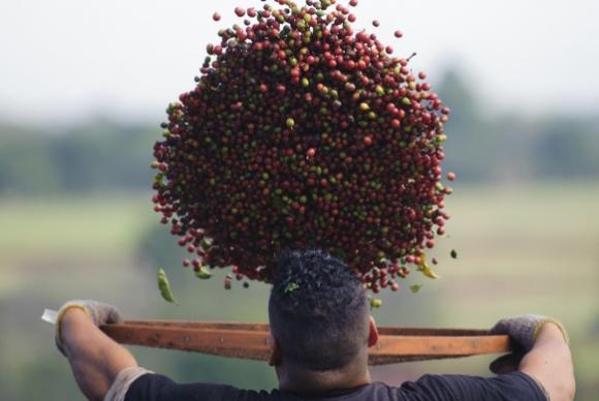 Estiagem do ano passado prejudica produção de café
