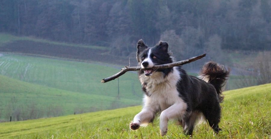 Castration is indicated to prevent breast cancer in dogs and cats